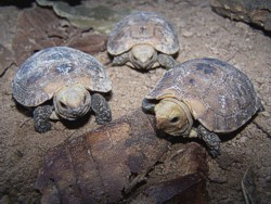 hatchlings of the Elongated Tortoise