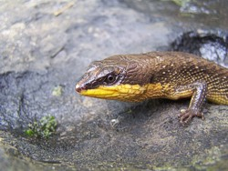 Cochinchina-Wasserskink